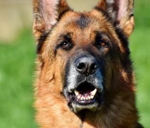 Собаки замість тесту на коронавірус