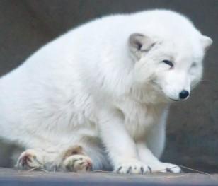 Більшість поляків проти розведення тварин на хутро