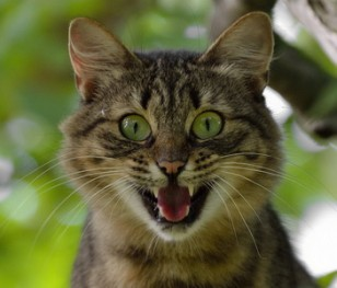 Розробник Amazon створив додаток, що перекладає «котячу мову»