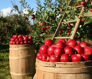 Польські яблука вперше потрапили на Тайвань