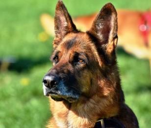 Psy wykryją koronawirusa węchem