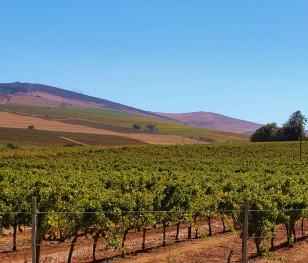 У Франції постраждали плантації винограду