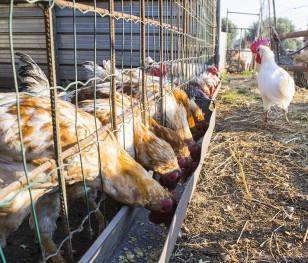 Брекзіт погіршує ситуацію польського птахівництва
