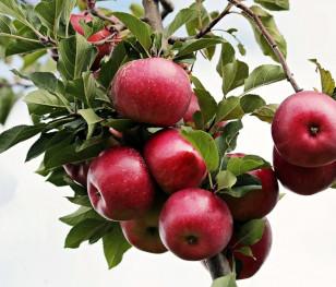 Важка ситуація на польському ринку яблук